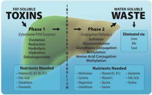 Nutrienti esentiali in faza I si faza a II a a detoxifiere in ficat
